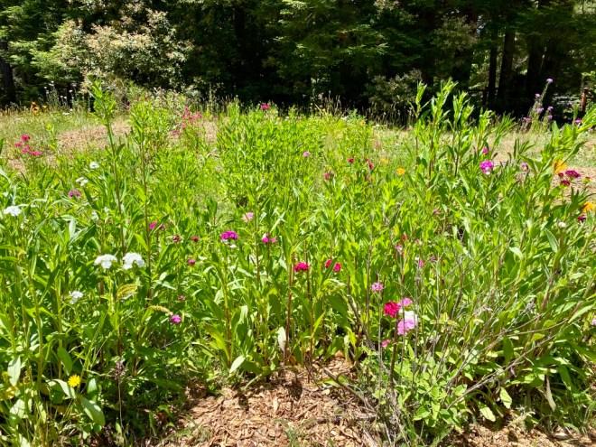 Pollinator Garden June 2021
