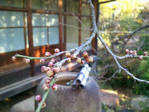 梅の花 つぼみ