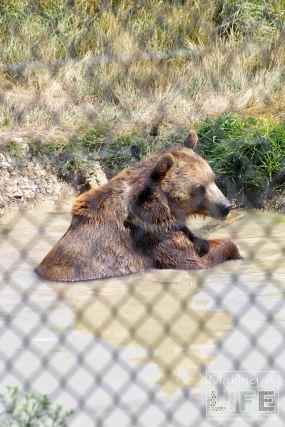 Brown Bear Safari Niagara