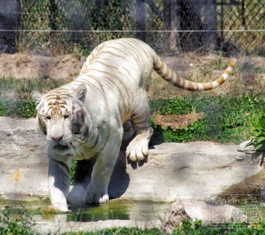 Tiger Safari Niagara