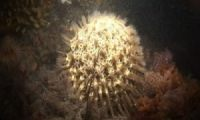 sponge-Cinachyra-antarctica-003