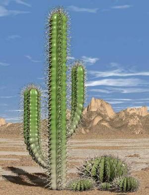 cactus20pic1