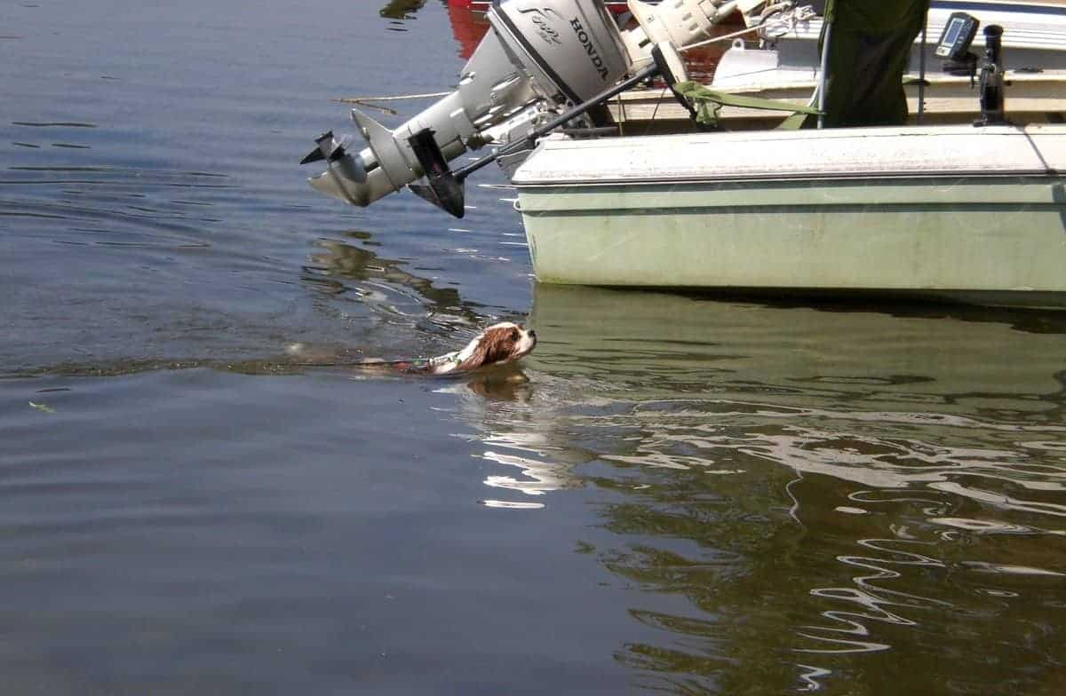 cavalier king charles spaniel swimming in the sea