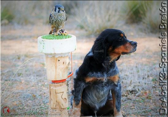 77-DeAbelK3-cachorro-breton-tricolor-cernicalo-americano