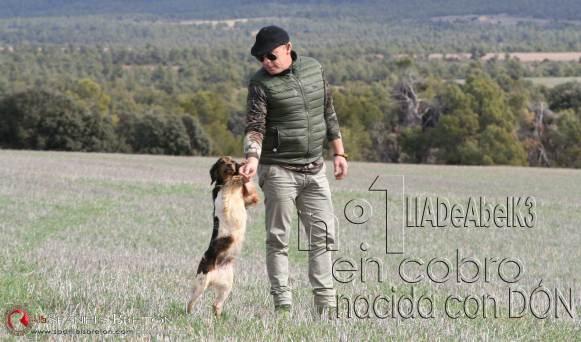 breton-spaniel-Lia-DeAbelK3-ESPECIALISTA-EN-COBRO