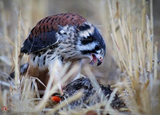 cernícalo-americano,2-halconcito-colorado-o-cuyaya-(Falco-sparverius)-epagneul-breton-DeAbelK311tt29