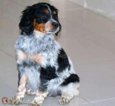 cachorro-breton-tricolor-DeAbelK3-epgneul-spaniels