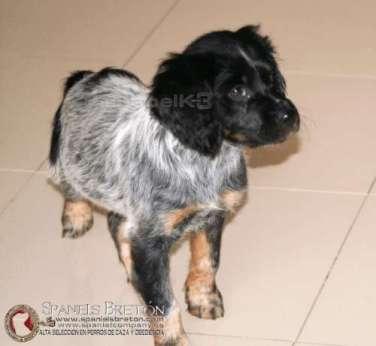 cachorro-hembra-breton-hembra-deabelk3-m-b-spanielsbreton-com