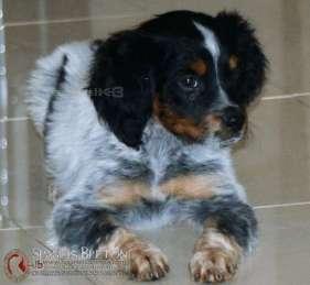 toretodeabelk3-cachorro-breton-tricolor-macho-spanielsbreton-com
