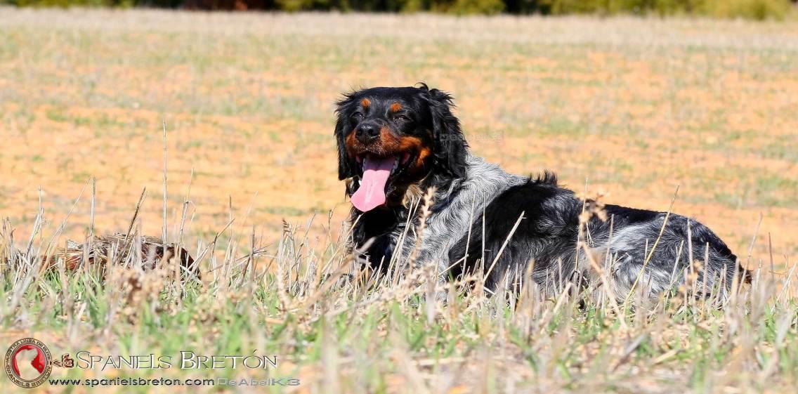breton-tricolor-DeAbelK3-SPANIELS-EPAGNEUL-American-Brittany--Spaniel-Wiegref-Bretón-perro-de-muestra-web