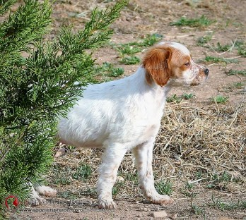 DeAbelK3-BRETON-cachorro-blanco-intenso-3c