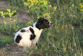 bretones-cachorrosd-DeAbelK3-Spaniel-10-j-10