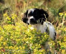 cachorra-bretona-blanca-y-negra-DeAbelK3-Spaniels