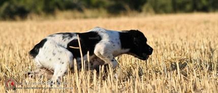 cachorra-breton-DeAbelK3-INICIANDO-SPANIEL-8bb-11bb