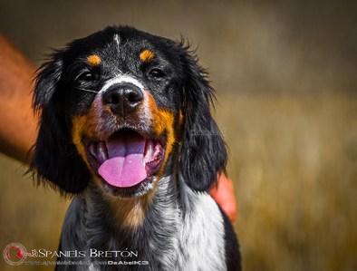 DeAbelK3-Brayan-breton-spaniel-tricolor-cachorro-epagneul-IMG_0902IMG_0967
