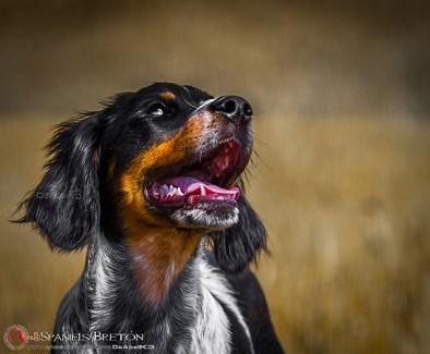 DeAbelK3-Brayan-breton-spaniel-tricolor-cachorro-epagneul-IMG_0902IMG_0970