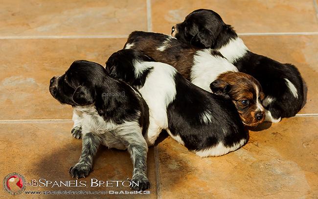 cachorros-DeAbelK3-bretones-spaniel-hijos de SARA-1a3