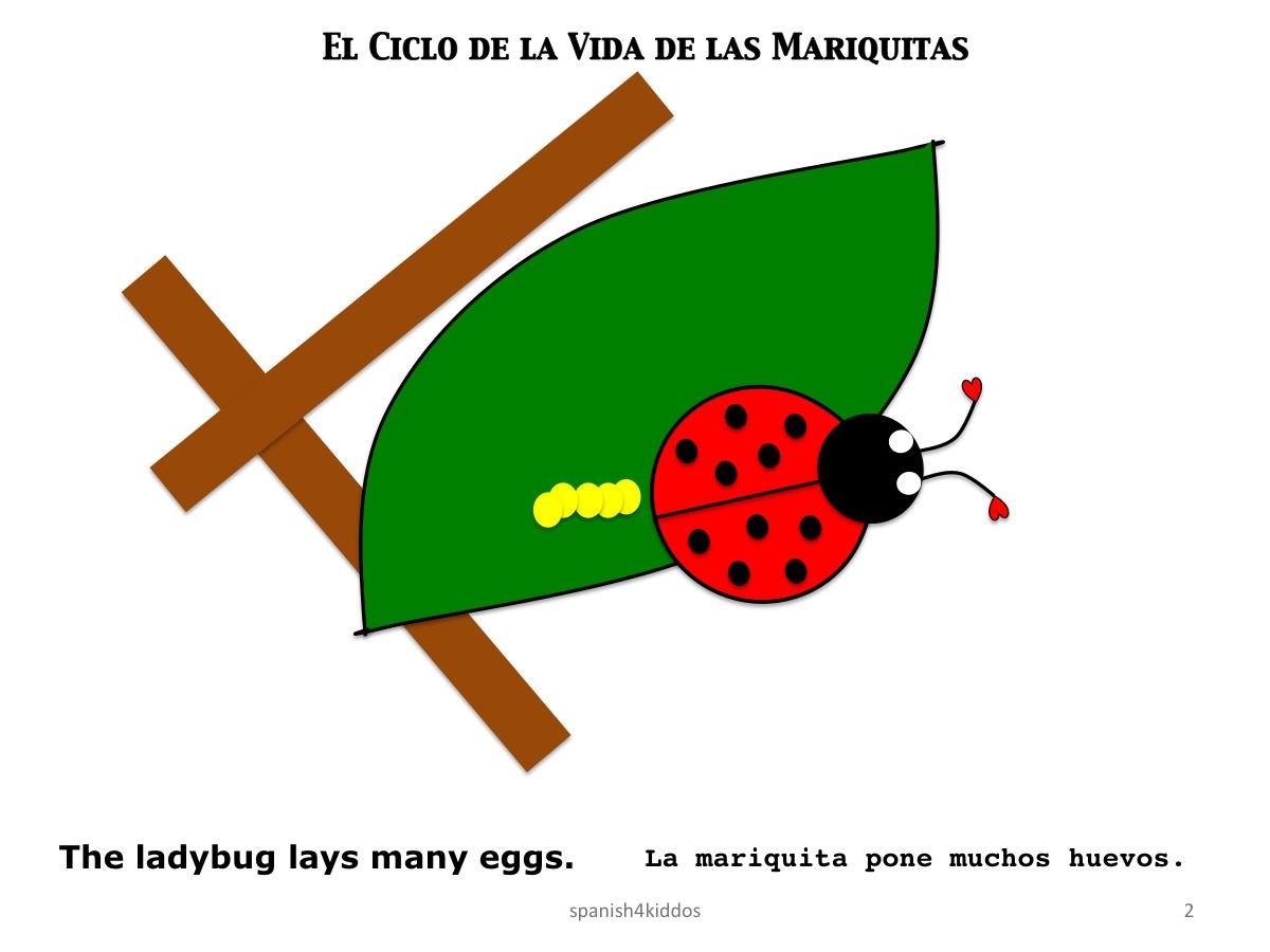 Life Cycle Ladybug2 Spanish4kiddos Educational Resources