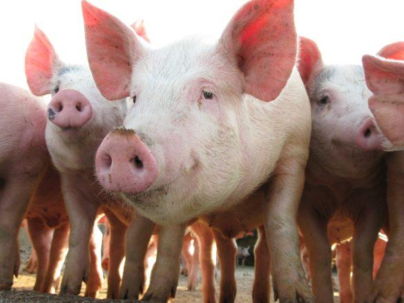 los cerdos pueden jugar a los videojuegos y eso tiene implicaciones sobre como los tratamos scaled