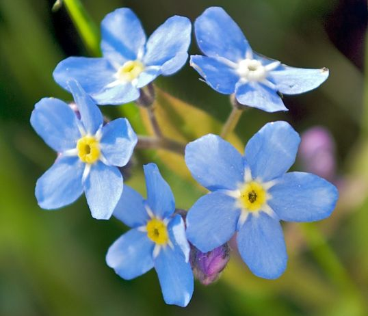 2008-05-04_at_18-26-44-Forgetmenot-Flower