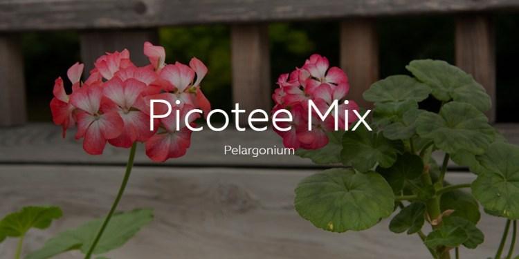 Picotee Mix