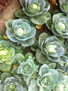 Cabbages (and kings)
