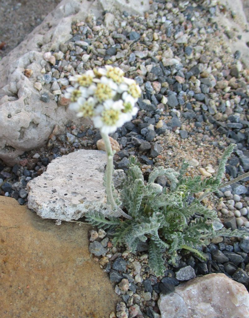 This image has an empty alt attribute; its file name is Achillea_nana-ML_0606alpine-1-801x1024.jpg