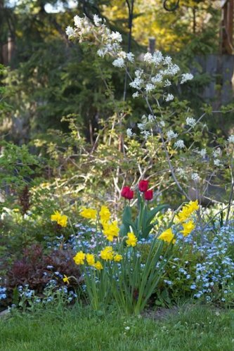 Narcissi, tulips and Amelanchier canadensis