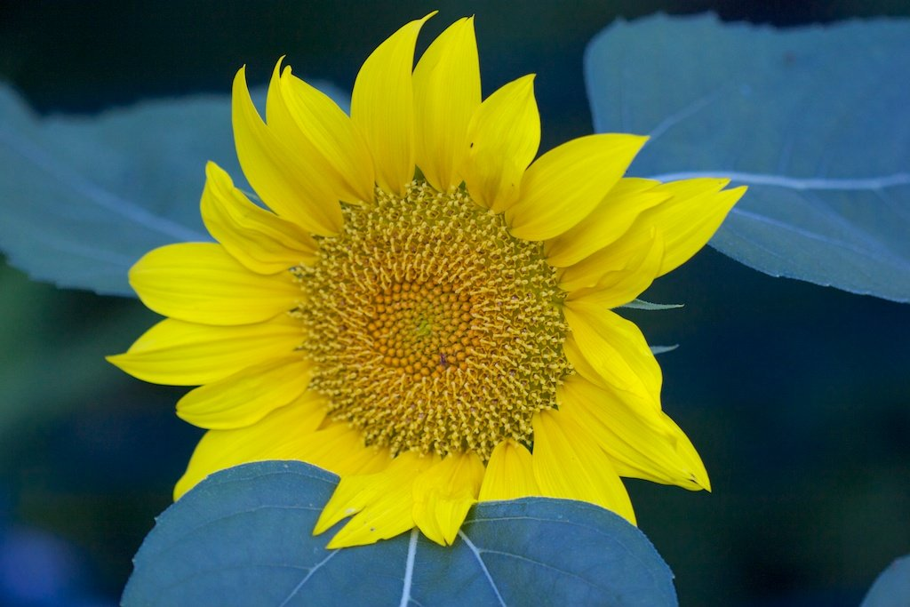 """Squirrel-planted sunflower using """"spare"""" seed from the bird feeders"""