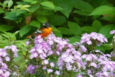 Baltimore Oriole taking insects from amongst the Phlox