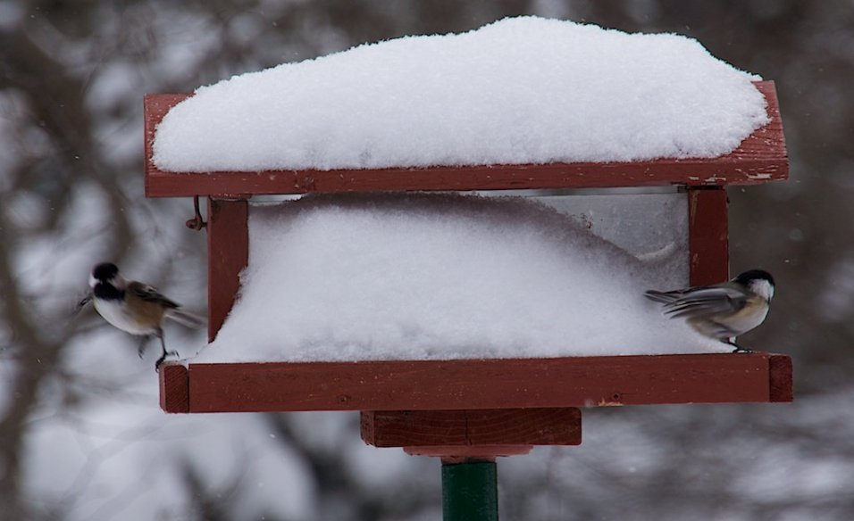 For the rest of the birds, there are always seeds in the arboretum feeders (seed donated by Bird Protection Quebec)
