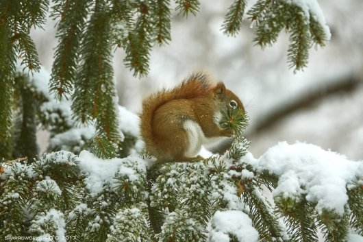 Red squirrel nibbling blanch tips