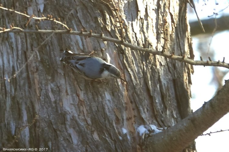 White-breasted Nuthatch on larch tree