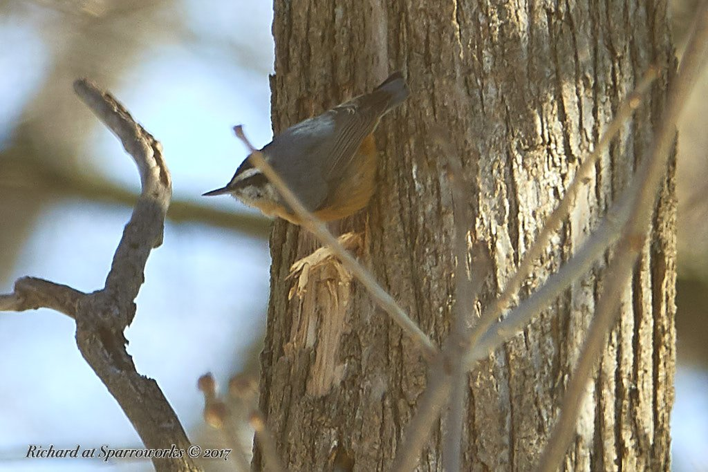 Red-breated Nuthatch