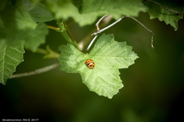 Asian ladybird