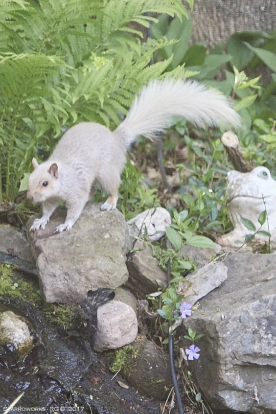 White squirrel (well, pale form of a grey to be honest)
