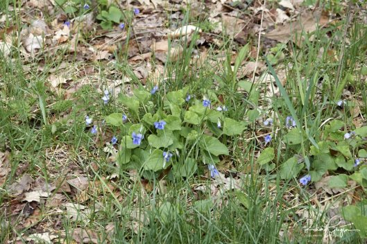Violets at the end of the trail