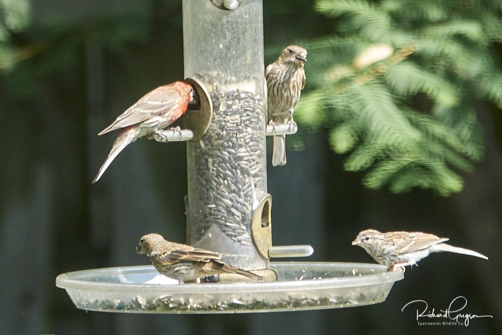 Family of House Finches