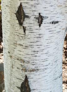 Birch Tree bark https://c1.staticflickr.com/9/8014/7101130177_952ffcc25e_b.jpg