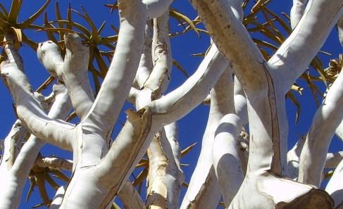 Quiver tree bark https://taniajessicasmith.files.wordpress.com/2012/03/quiver_tree_blue_sky_namibia.jpg