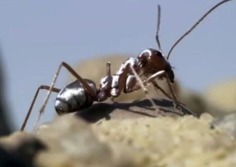 Saharan Silver Ant [1]