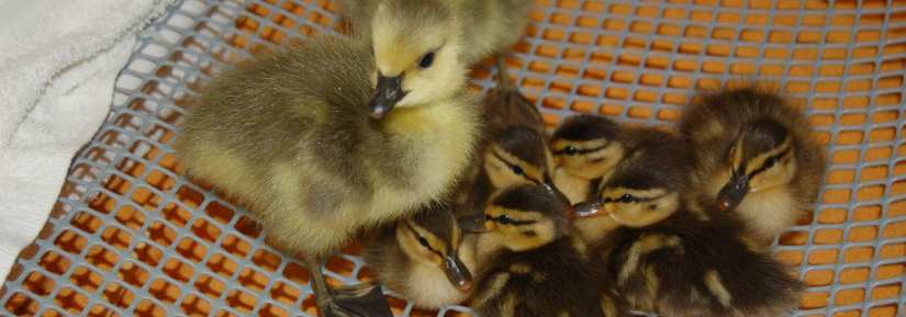 canada geese and mallard ducklings together