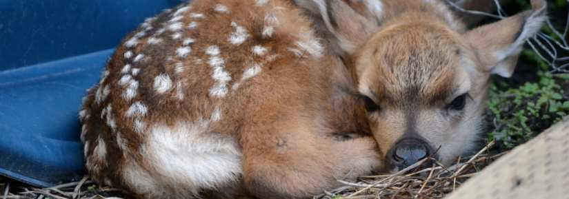 deer fawn lying down on ground