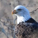 Close up of wild bald eagle