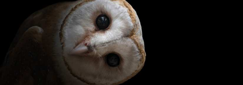 Close up shot of cute wild common barn owl with sideways tilted head