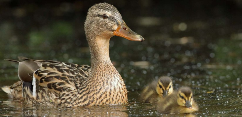 A Duck family