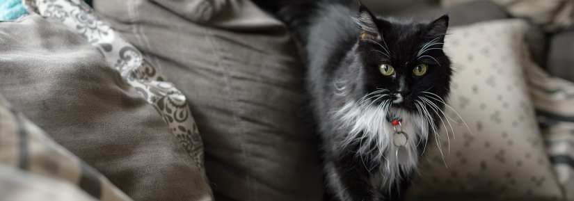 Wide eyed black and white cat wearing collar with id indoors on couch