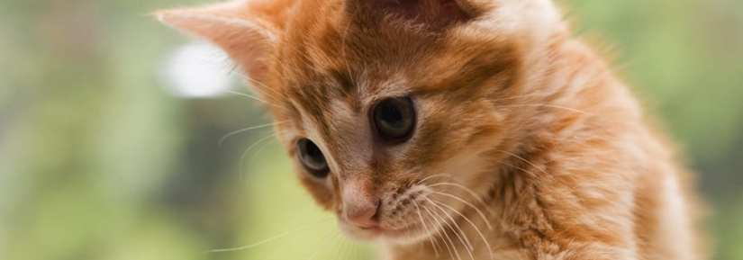 Curious ginger kitten looking down playfully