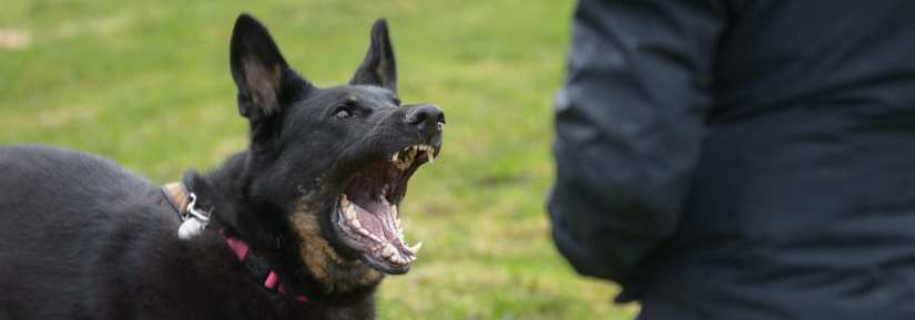 An aggressive dog barking and looking scary and angry
