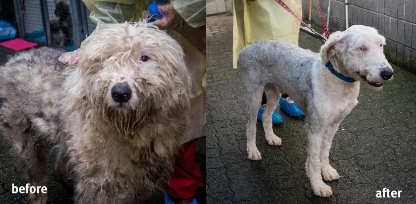 Dog from puppy mill cruelty before and after